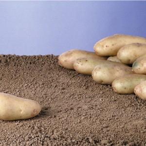 plants-pomme-de-terre
